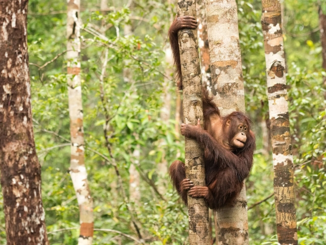 Orangutan - Mad Scamper