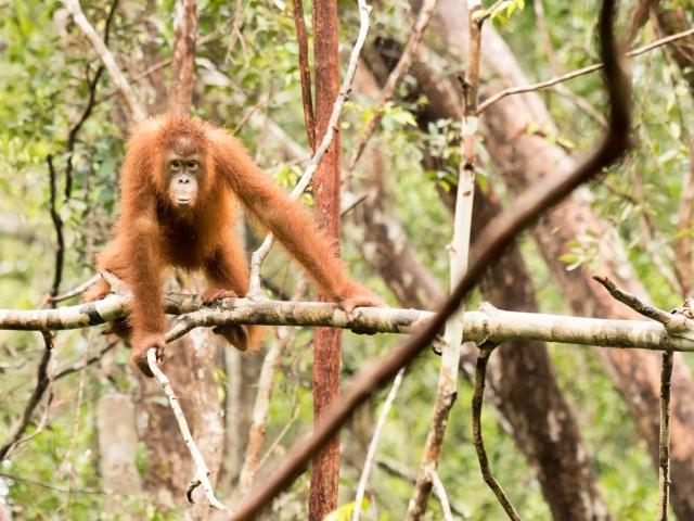 Orangutan - Glancing Dancer
