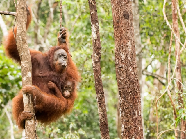Orangutan - Swinging with Mother