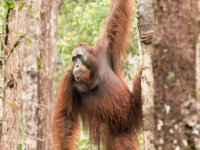 Orangutan - Hold Tight