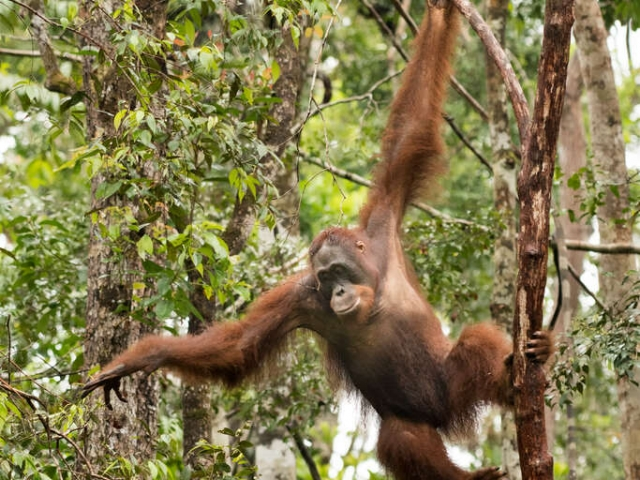 Orangutan - Light and Easy