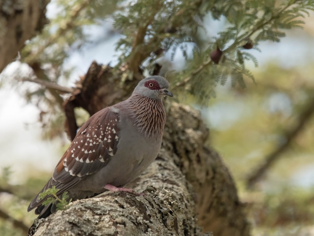 Speckled Pigeon - Under The Canopy