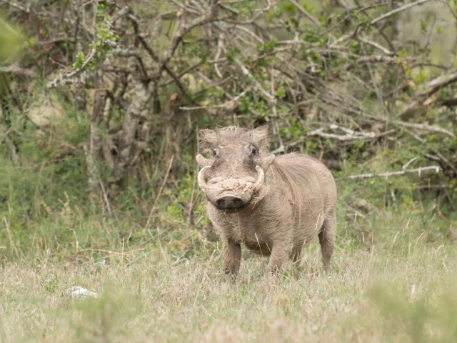 Warthog - In The Bush