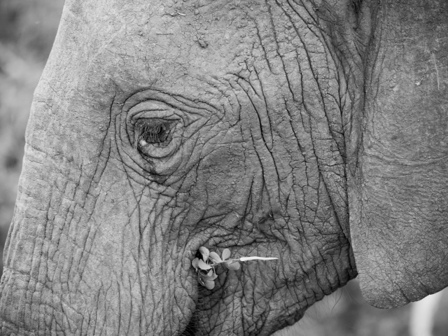 African Bush Elephant - Tearful