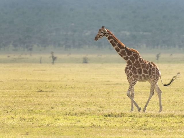 Reticulated Giraffe - Solitary Stroll