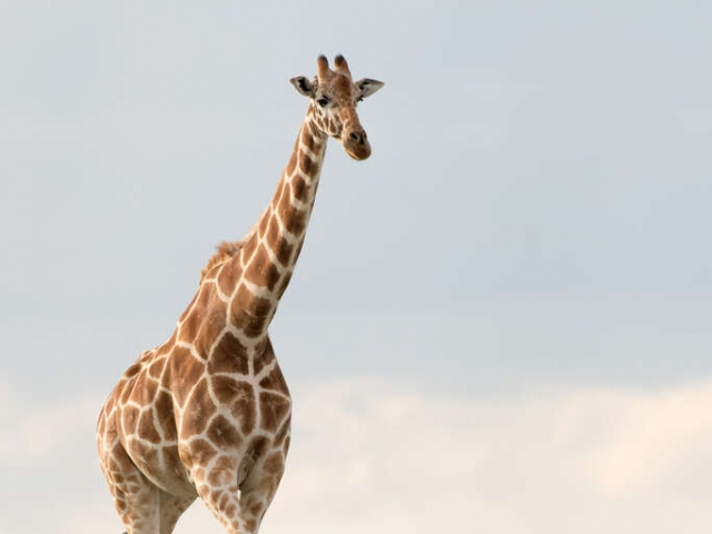 Giraffe - Walking Tall