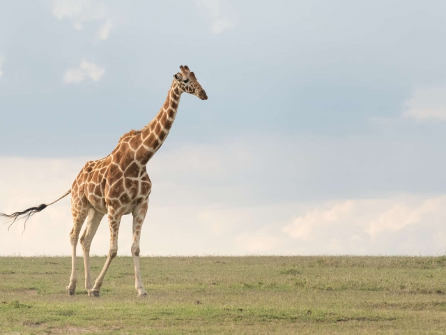 Reticulated Giraffe - Crossing The Plain