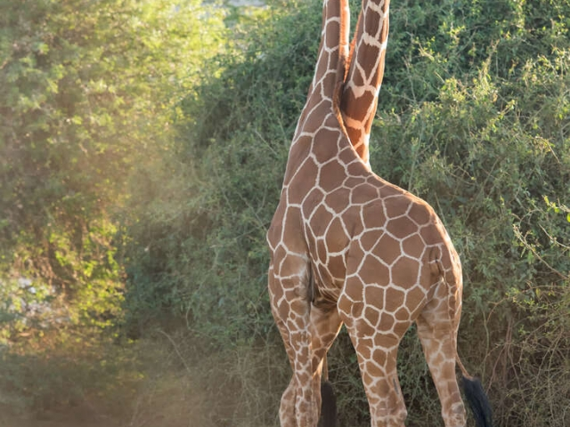 Reticulated Giraffe - Two Heads are Better Than On