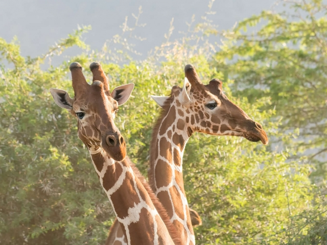 Reticulated Giraffe - Heads Up