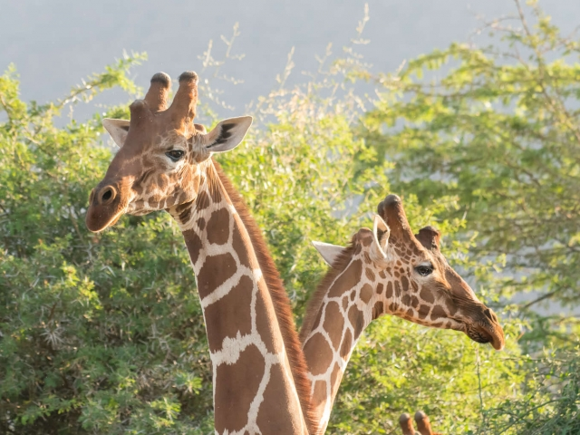 Reticulated Giraffe - Two Heads