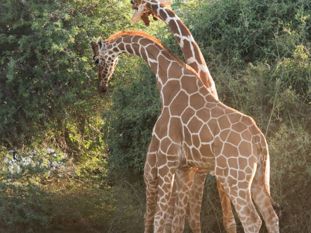 Reticulated Giraffe - Fighting