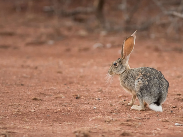 African Savanna Hare - Don't Move