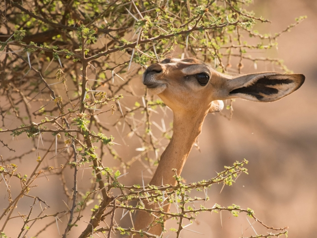 Gerenuk - Picking Dinner