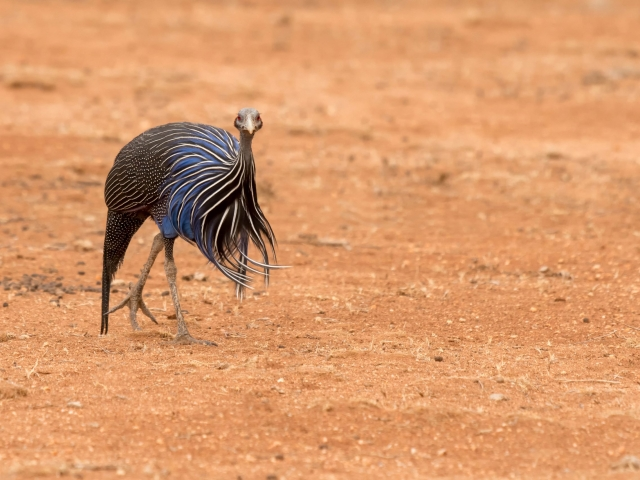 Vulturine Guinea Fowl - Graceful Swagger