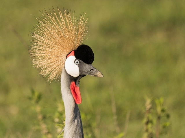 Crown Crane - Nice Hat