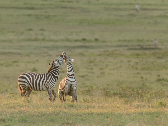 Burchell's Zebra - Play Flighting