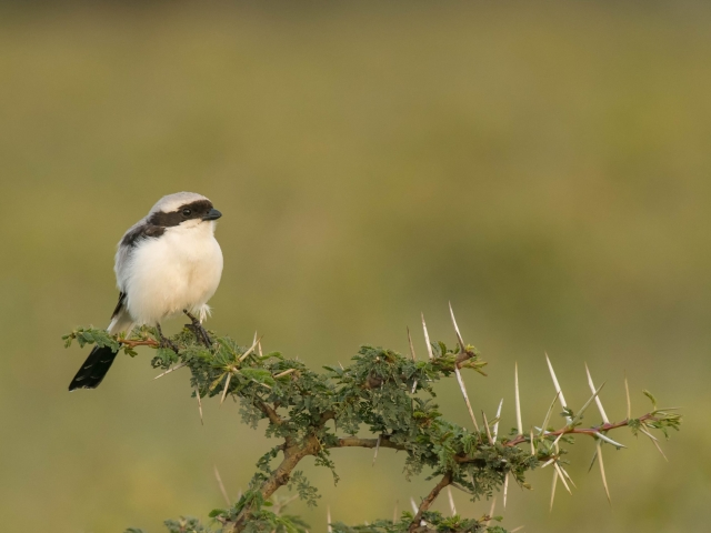 Grey-Backed Fiscal Shrike - On a Perch