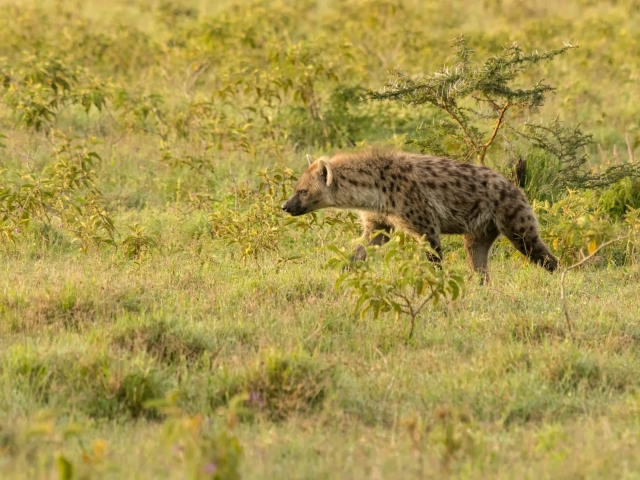 Hyena - Stealthly Walk