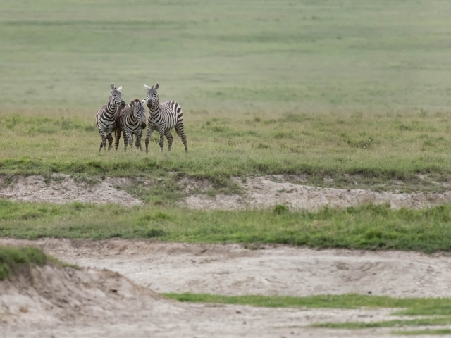 Burchell's Zebra - Best of Friends