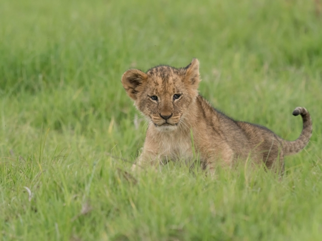 Lion - Cub with Sad Eyes