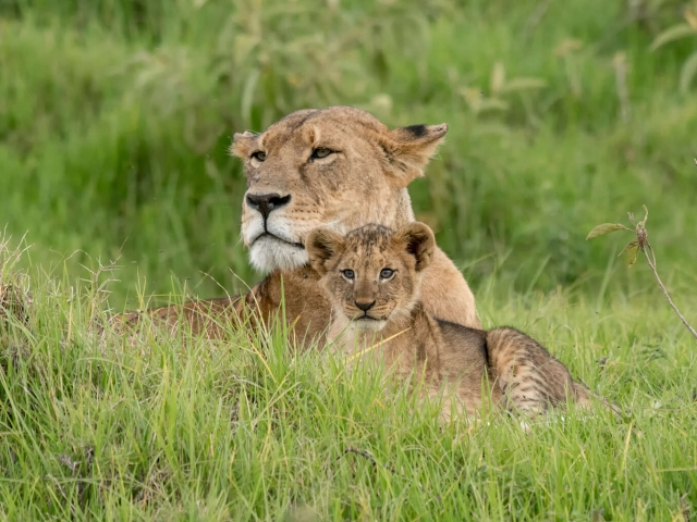 Lion - Proud Mother with Cub