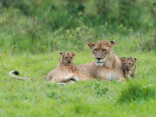Lion - Female With Her Young Cubs