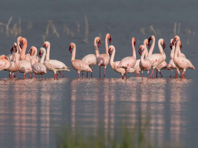 Lesser Flamingo - Lake Nakuru