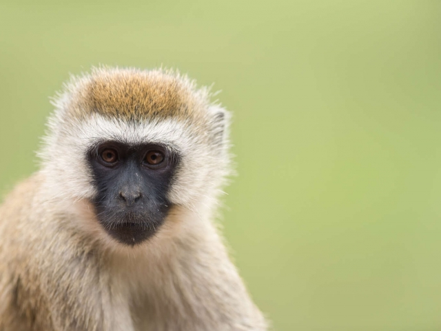 Vervet Monkey - Portrait