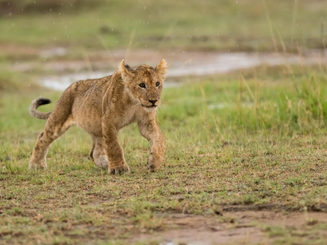 Lion - Cub In The Rain