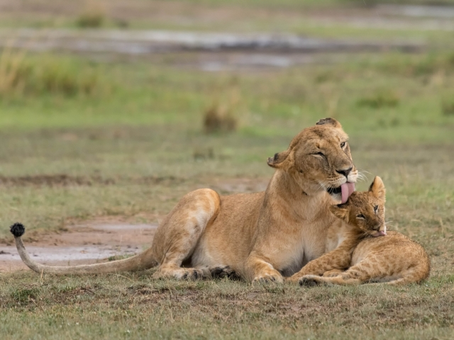 Lion - Mother Cleaning Her Baby