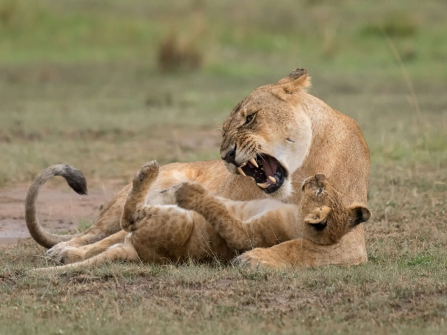 Lion - Playing with Cub