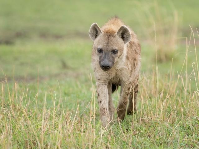 Hyena - I Am