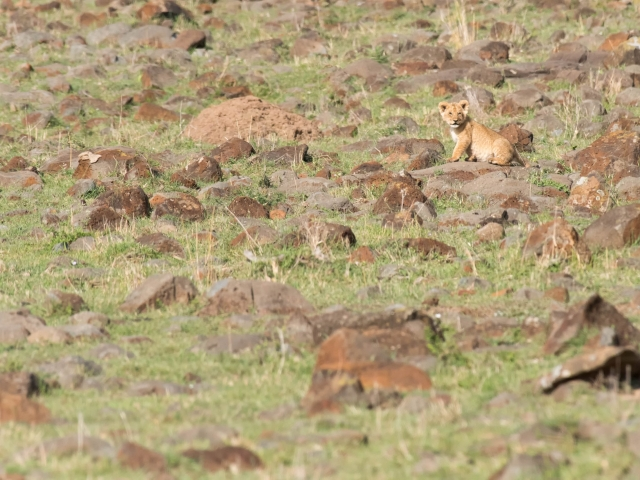 Lion - Cub Looking for Mum