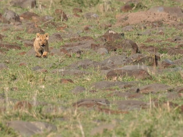 Lion - Cub Running to Mum