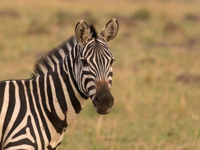 Burchell's Zebra - Portrait