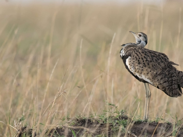 Black Bellied Bustard - Puff It Up