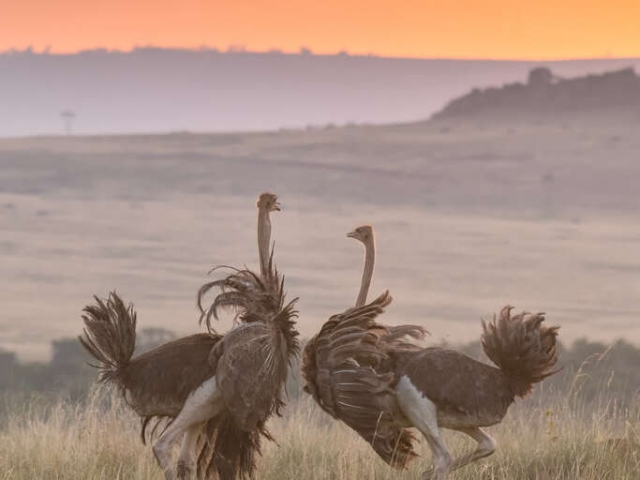 Ostrich - Females in Evening Light