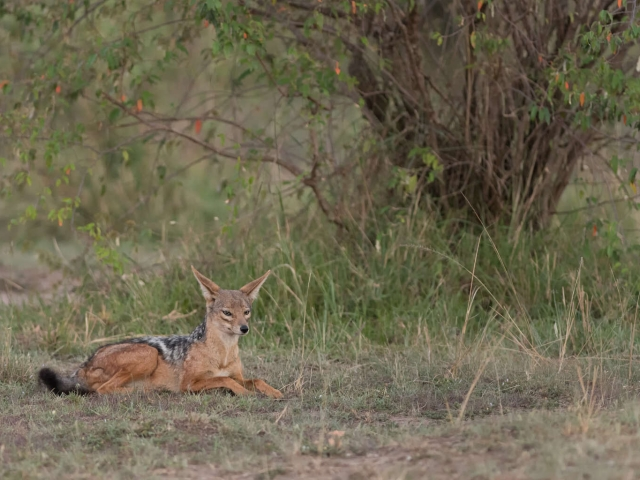 Jackal - Resting Under The Bush