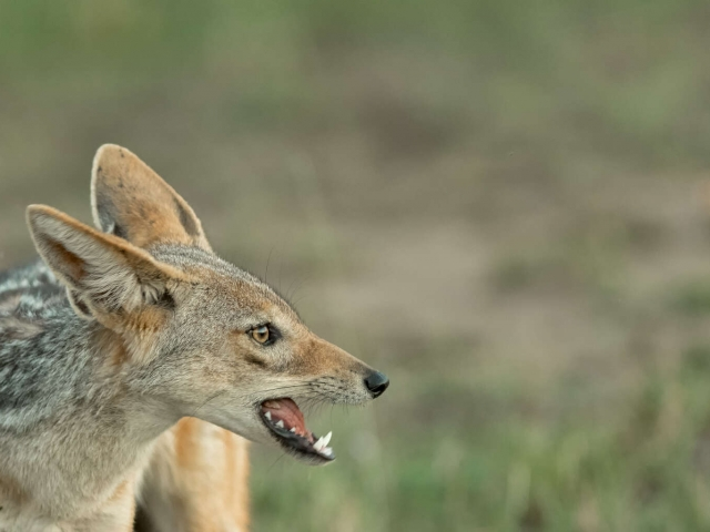 Jackal - Close-up