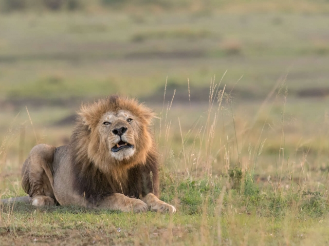 Lion - Snarling Male