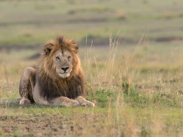 Lion - Male in the Grass