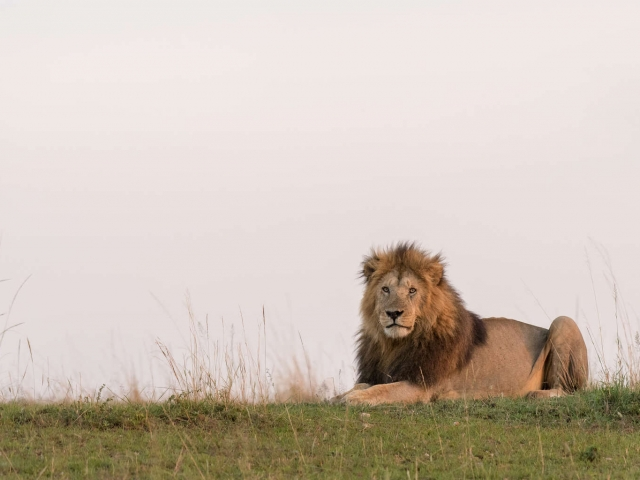 Lion - Male on the Ridge