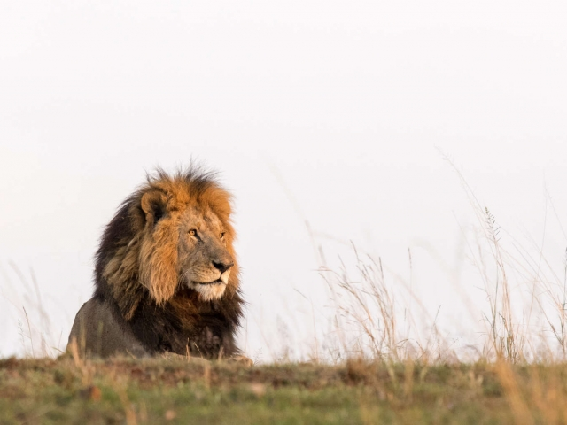 Lion - Male in Golden Light