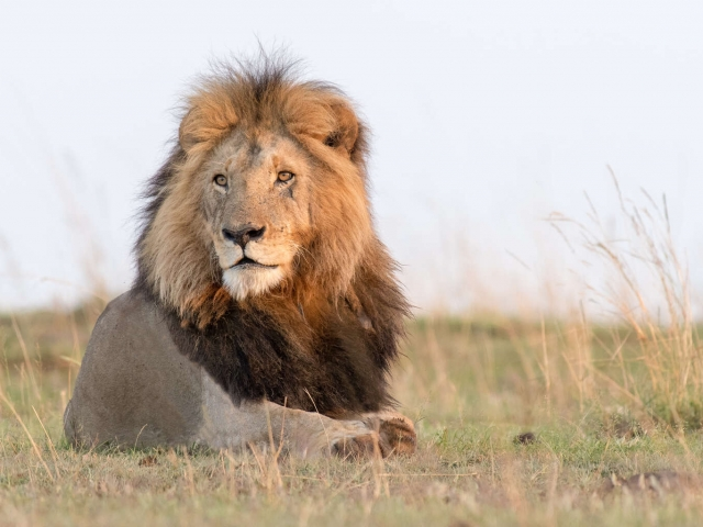 Lion - Majestic Male