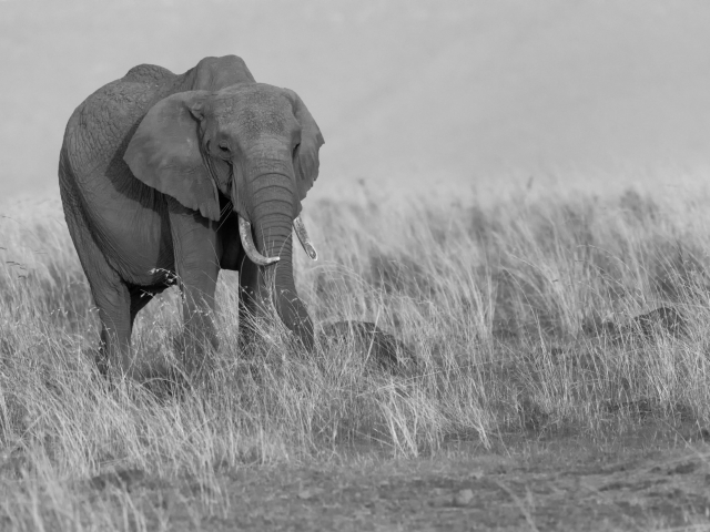 African Bush Elephant - In The Long Grass