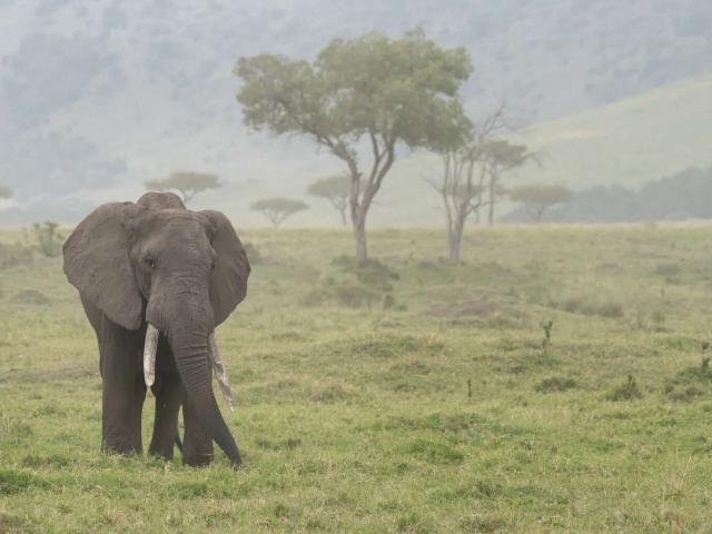 African Bush Elephant - Mara Landscape