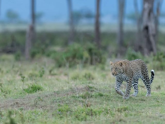Leopard - Looking for Dinner