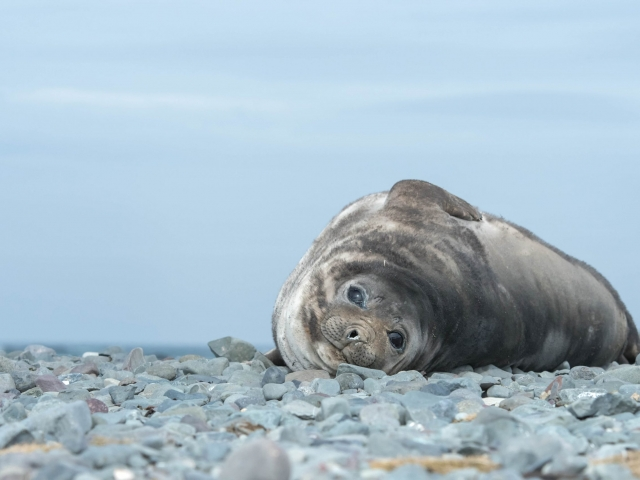 Weddell Seal - On the Rock