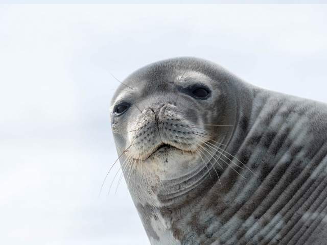 Weddell Seal - You Said What