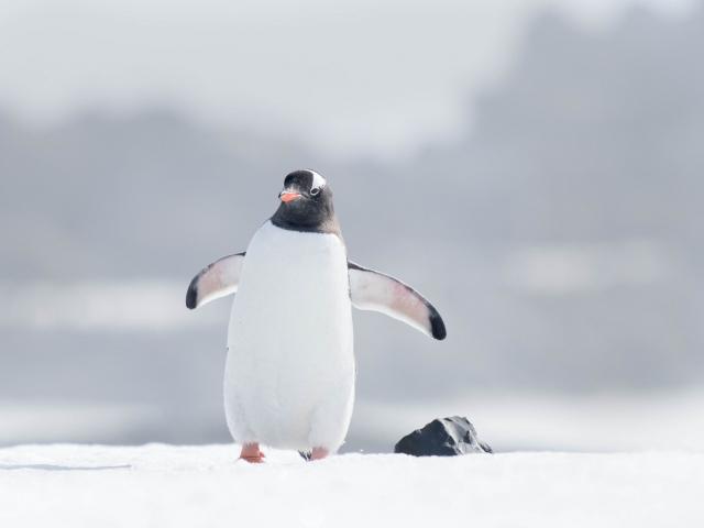 Gentoo Penguin - Mind The Rock